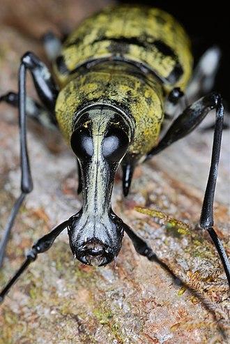 Anthribidae - Fungus weevil