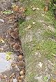 Fungus on a fallen log - geograph.org.uk - 1513933.jpg