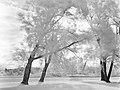 Gaétan IGP5961 - Arbres fantôme. (22261612934).jpg