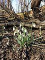 Galanthus nivalis sl4.jpg