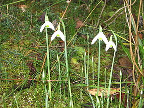 Description de l'image  Fichier:Galanthus_reginae-olgae02.jpg .