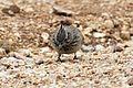 Galerida cristata - Crested Lark, Mersin 2016-12-01 01-3.jpg