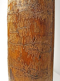 Une branche d'épicéa, dont l'écorce est tombée, montrant les galeries qui y ont été creusées par les larves de bostryches.