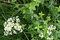 Galium-boreale-foliage.jpg