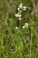 Galium mollugo-subsp-erectum bonneil 02 02082007 1.jpg