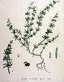 Galium tricorne — Flora Batava — Volume v19.jpg