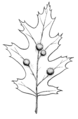 Gall (PSF).png