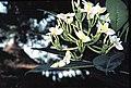 Gambia orkide havard.jpg