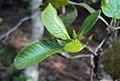 Gardenia gummifera 10.JPG