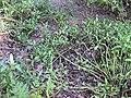 Gardenology.org-IMG 2423 ucla09.jpg