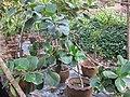 Gardenology.org-IMG 7232 qsbg11mar.jpg