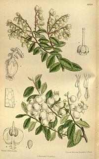 Gaultheria cuneata 145-8829