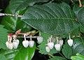 Gaultheria shallon RF.jpg