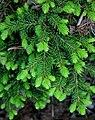 Gemeine Fichte (Picea abies) 'Pseudoprostrata'.JPG