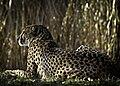 Gepard h25p.jpg