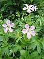 Geranium erianthum1UME.JPG