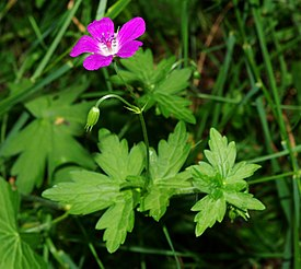 Geranium palustre - leaves and flower.jpg