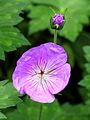 Geranium wallichianum 'Buxton's Variety'..JPG