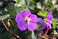 Geranium x Rozanne 0zz.jpg