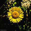 Germering, Blüte einer Gerbera-Hybride (14104373498).jpg