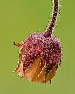 Geum rivale flower - Keila.jpg