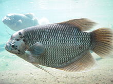 Giant Gourami in Bronx Zoo.jpg
