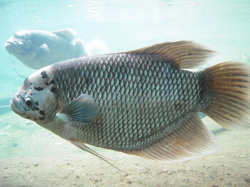 ไฟล์:Giant Gourami in Bronx Zoo.jpg