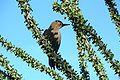 Gila Woodpecker (Melanerpes uropygialis) (female).jpg
