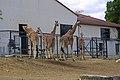 Girafes - zoos de Beauval.jpg