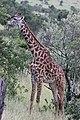 Giraffe (42121502664).jpg
