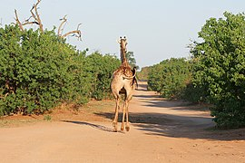 Giraffe in Chobe National Park 01.jpg