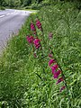 Gladioli by Marldon Road - geograph.org.uk - 828525.jpg