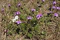 Glandularia aristigera plant3 (14602044516).jpg