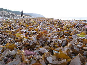 Glatved Beach - Offshore kelp forests at Glatved Beach, forms the basis of an abundant marine life.