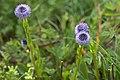 Globularia bisnagarica-4476 - Flickr - Ragnhild & Neil Crawford.jpg