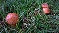 Go - Russula atrorubens - 2.jpg