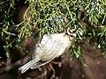 Golden-crowned kinglet at JBWR (11884).jpg