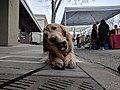 Golden retriever gnawing at the farmer's market.jpg