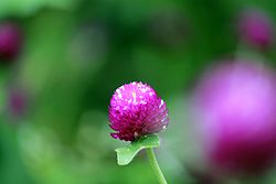 Gomphrena globosa Single.JPG