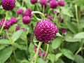 Gomphrena globosa from Lalbagh flower show Aug 2013 8118.JPG