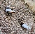 Goose barnacle (Lepas anatifera) - Flickr - gailhampshire.jpg