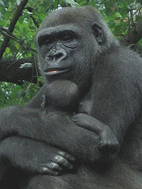 Gorilla with young, Bronx Zoo