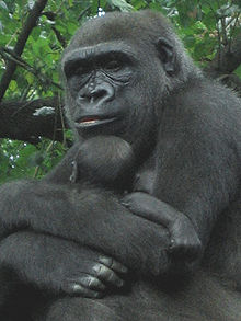 Gorilla with young.jpg