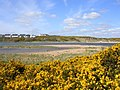 Gorse at the Mouth of the River Don - geograph.org.uk - 161413.jpg