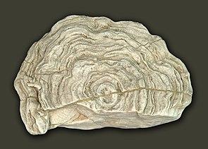 Stromatopore aus Gotland; Durchmesser 45 cm.