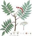 Grønlandsk Røn (Sorbus groenlandica) (9411504582).jpg