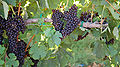 Grapes along SR12.jpg