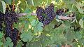 Grapes along SR12.jpg