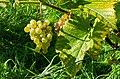 Grapes in Chateaux Luna vineyard 1.jpg