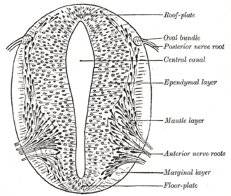 Neurulation - Transverse section of the neural tube showing the floor plate and roof plate